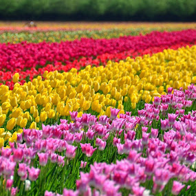 I went to the Wooden Shoe Tulip Farm near Woodburn, Oregon today. Hope ya'll like flowers because I'm fixing to show you some. by Michael White - Flowers Flower Gardens ( spring colorful flowers, outdoors, sun coming through wildflowers, springtime, spring )