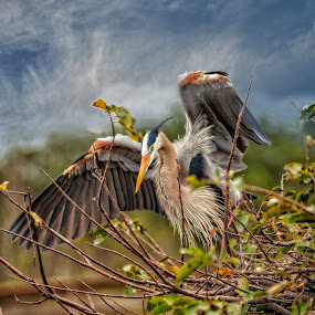 Protecting The Nest by Sandy Friedkin - Animals Birds ( blue. heron, great, nesting, wings, spread,  )