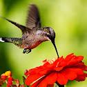 Ruby-throated Hummongbird