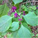 Purple berry plant?