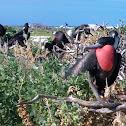 Great Frigate Bird