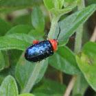 Shining Flea Beetle