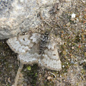 Black Mountain Moth