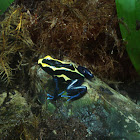 Yellow and blue poison dart frog