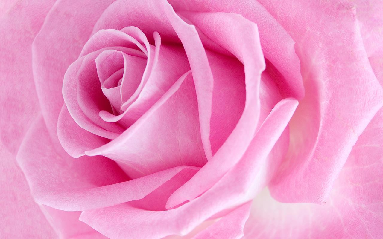 Pink Rose Live Wallpaper Screenshot