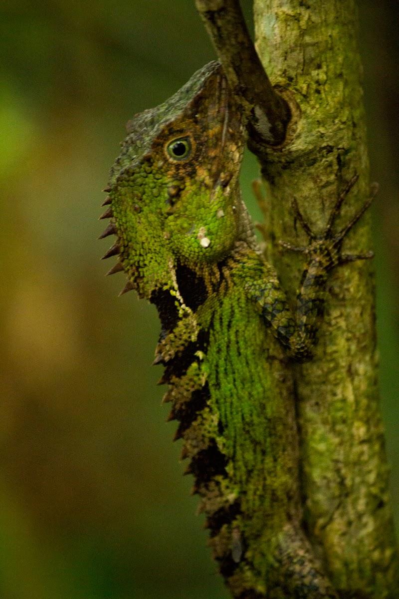 Boulenger's Tree Agama