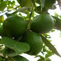 Limón (lemon)