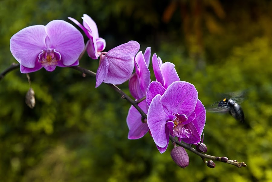 orchid  by Qen Lanz - Flowers Flowers in the Wild