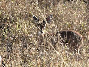 cheetah prey - steenbok antelope