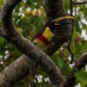 Araçari-castanho(Chestnut-eared Aracari)