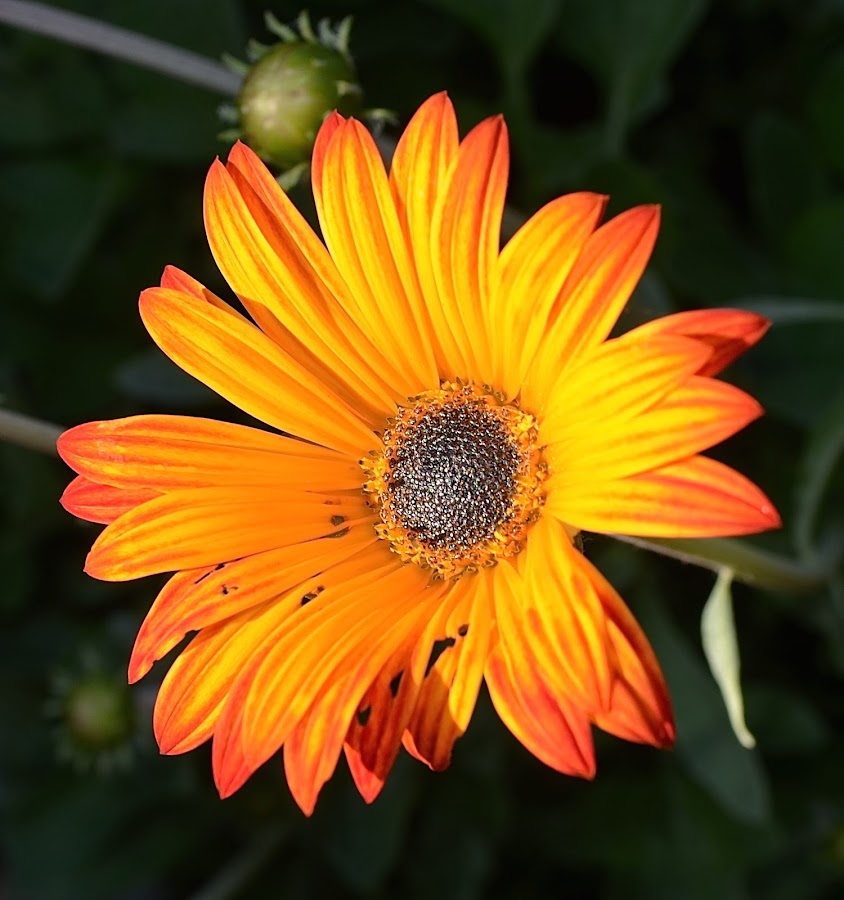 Flaming Beauty by Ed Hanson - Flowers Single Flower ( orange, nature, bokeh, close-up, flower )