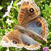 Junonia sp. butterfly
