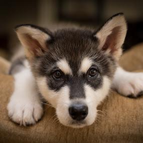 K'eyush #2 by Stuart Partridge - Animals - Dogs Puppies ( alaskan, stuart, alaska, partridge, d600, husky, nikon, malamute, giant )