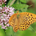 Kaisermantel or Silver-washed Fritillary