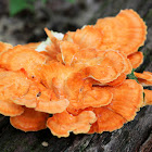 Sulphur Shelf Fungi