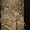 Bark leviathan spider