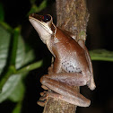 Spotted-thighed Treefrog?