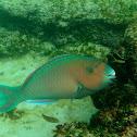 BlueBarred Parrotfish