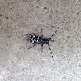 Asian Long-Horned Beetle of Ohio - Invasive Species
