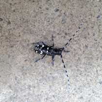 Asian Long-Horned Beetle of Ohio - Invasive Species