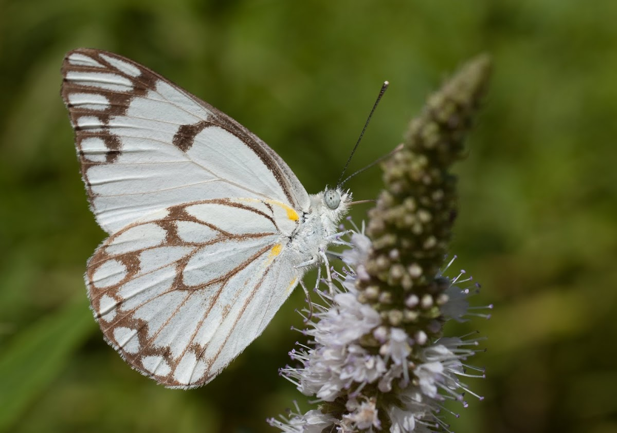Africa Brown-veined White