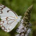 Africa Brown-veined White