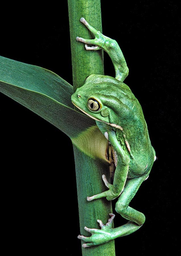 The Lookout by Robert Jensen - Animals Amphibians ( look, looking, herpetology, herp, waxy, cane, wax, forg, zoology, sentry, biology, monkey )