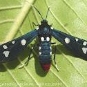 Polka-Dotted Wasp Moth