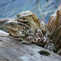 Rospo - Toad