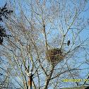 Bald Eagle and Nest