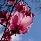 Magnolio chino. Saucer magnolia