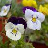 Viola x wittrockiana. Pensamiento