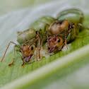Weaver Ant Queens