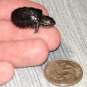 Common Musk Turtle (hatchling)