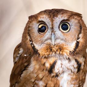 Owlish by Kyle Kephart - Animals Birds ( bird, owl, wildlife, cute, close up, eyes, animal )