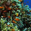 Sea goldie or lyretail coralfish