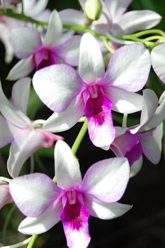 Fragrant Orchid Live Wallpaper