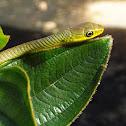 Common Tree Snake