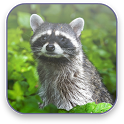 Raccoon Free Video Wallpaper icon