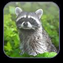 Raccoon Free Video Wallpaper icon