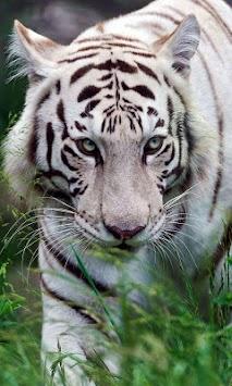 Bengal Tiger Live Wallpaper Poster