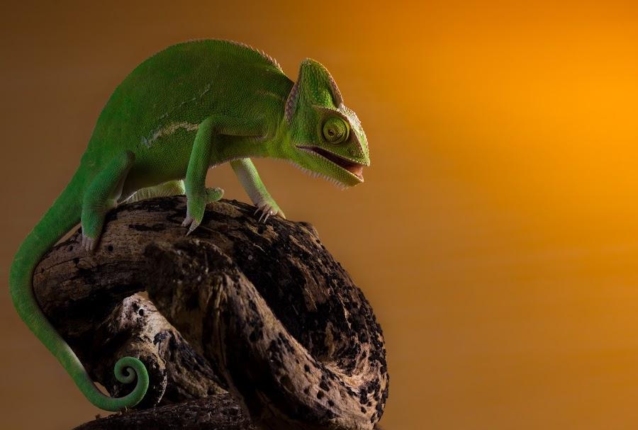 Yemen Chameleon by Kutub Macro-man - Animals Reptiles ( macro, yemen chameleon, close-up, animal )