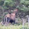 Moose or Eurasian Elk