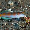 Flag-Tail Shrimp-Goby