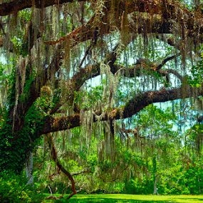 Maclay Gardens Oak by Mike Moss - City,  Street & Park  City Parks