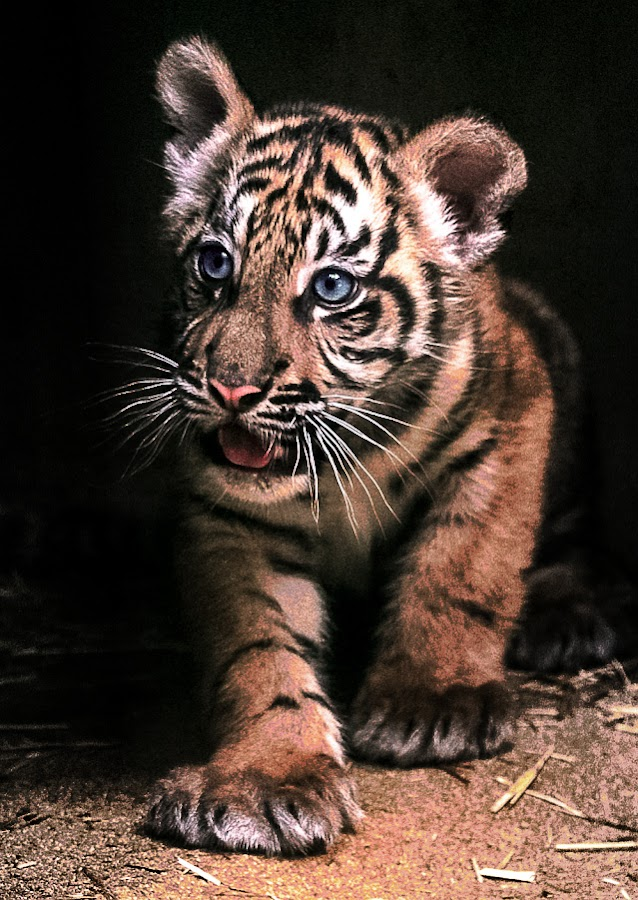 by Renos Hadjikyriacou - Animals Lions, Tigers & Big Cats ( animals, tiger,  )