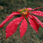 Poinsettia sp.