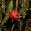 Red-fleshed Pitaya