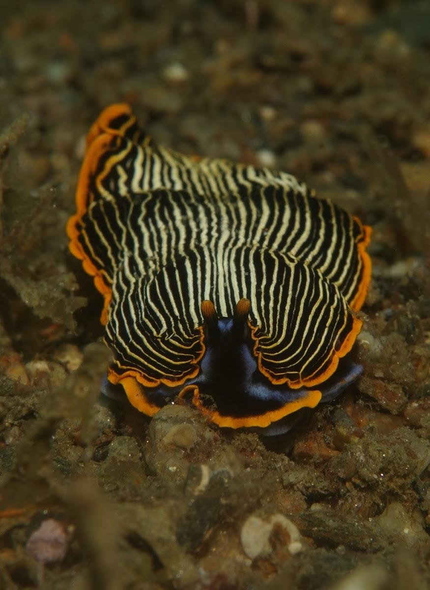 Arminid Nudibranch