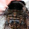Lappet moth caterpillar